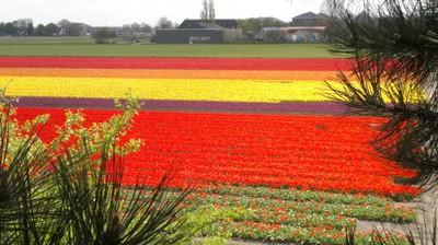 Campi di tulipani in fiore